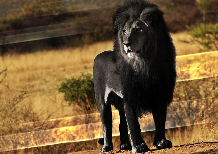 Manimben Tombi Dit Le Lion Noir : Un Heros Dans Les Oubliettes